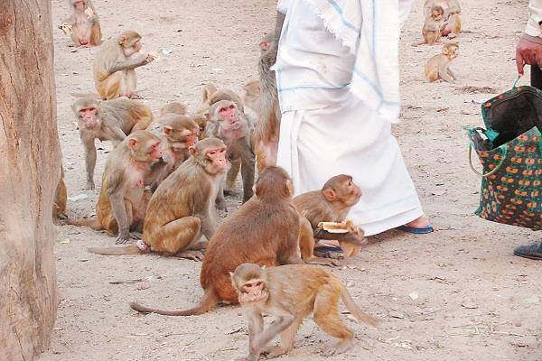 mathura vrindavan people upset due to monkey terror escaped from home
