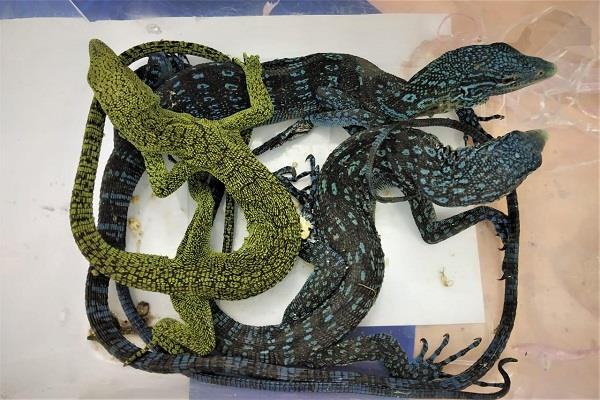 bag filled with python and lizard seized at chennai airport two arrested