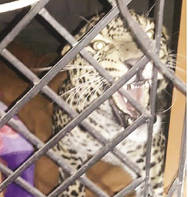 leopard enters sirsa nangal s house