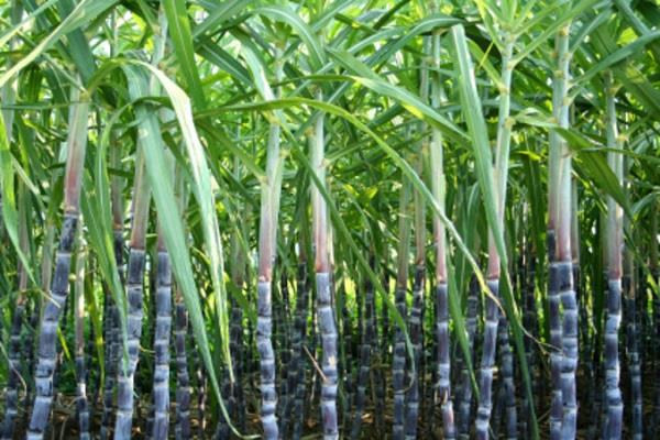 sugarcane falling down chain juice going down drain heavy damage sugar mill