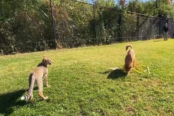 viral video when a leopard ran after a dog