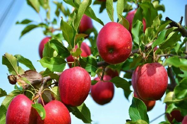 jammu and kashmir farmers get fair price for apple and saffron says sitharaman