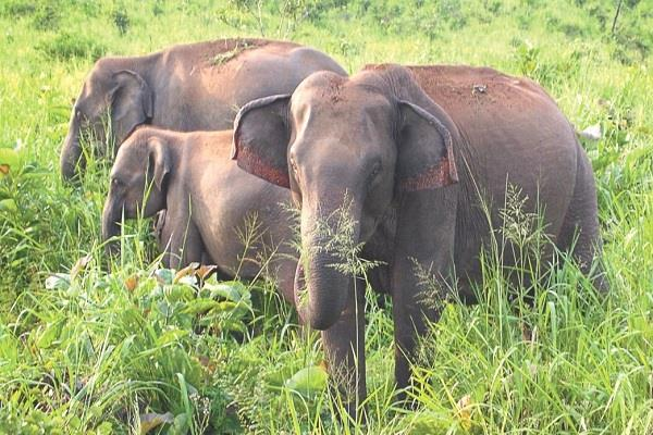 fear of wild elephants in suture ruin of crops of villagers