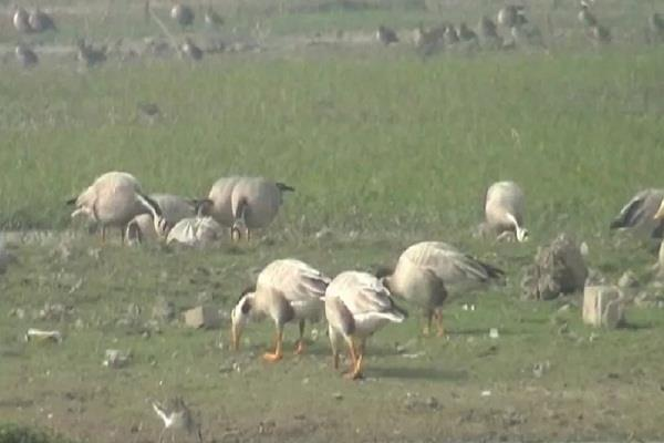 migratory birds arriving jammu and kashmir forest department protect birds
