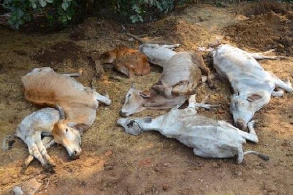 cm yagey s tough stand neutralizes painful cows of 25 cows with cold and hunger