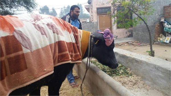 haryana buffalo saraswati broke pakistans world record