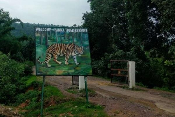 number of tigers in panna tiger reserve increased to 50 more