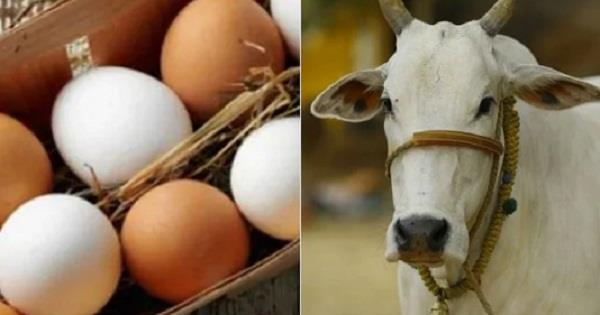 school kids in uk think cows lay eggs study