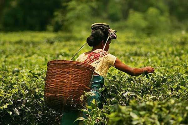 protesters in assam are afraid of impacting tea production sales