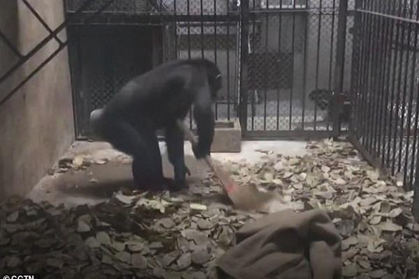 when chimpanzee cleaned the room