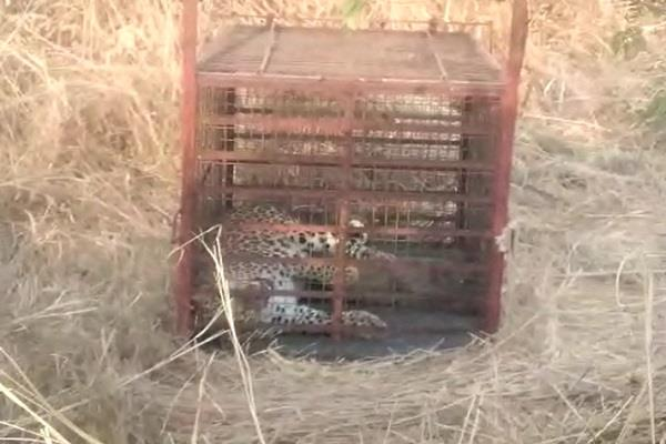 the forest department caught the leopard in the iit campus