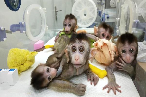 know how the chinese scientists created similar 5 monkeys