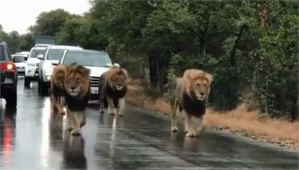 four lions went out on the road the beats of car drivers