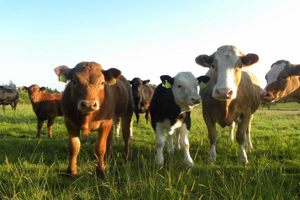 budget 2019 government plans to start cows for kamdhenu