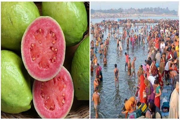 allahabadi guava becomes the first choice of kalpvans