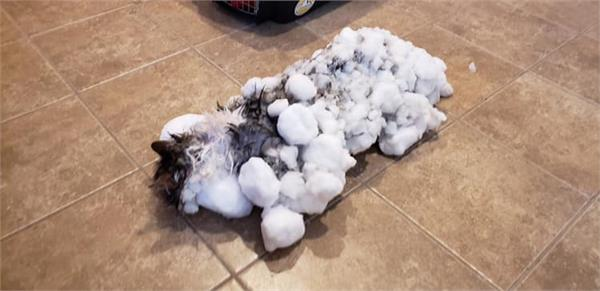 fluffy the cat survives after she was  essentially frozen  in snow