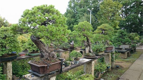 thieves stole a rare 400 year old bonsai from a japanese garden