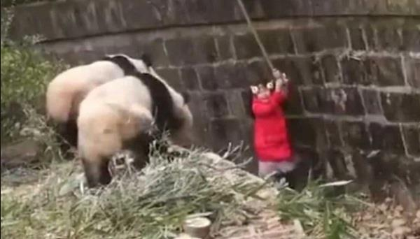 young girl falls into giant panda pit in china video viral