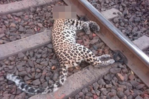 leopard killed by train death due to fencing on track