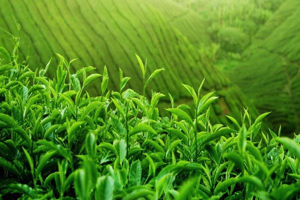 iran looking to export fresh tea hopefully