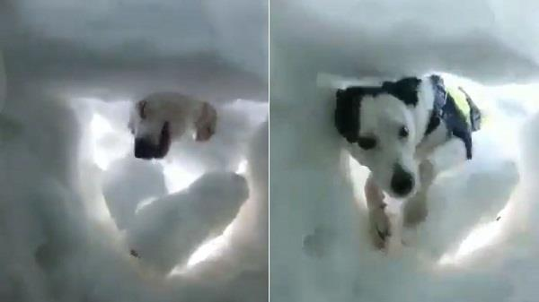 rescue dog wins hearts by saving volunteer buried in snow