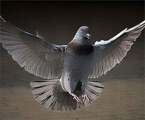 pigeon racing is becoming famous in iraq