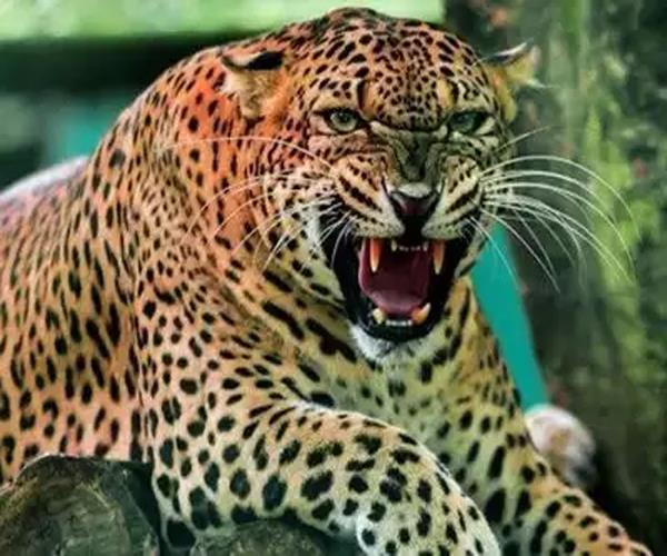 12 year old girl dies of leopard attack