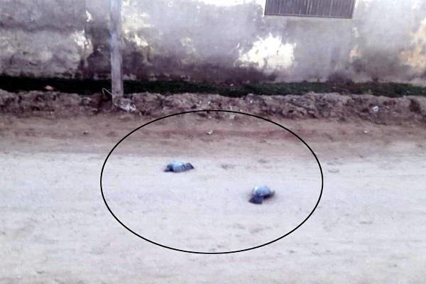 2 pigeons die due to the negligence of electricity department