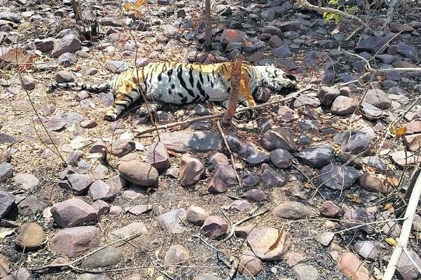 tigers found dead in ratapani century