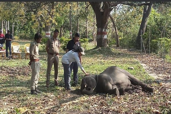 the elephant calf injured
