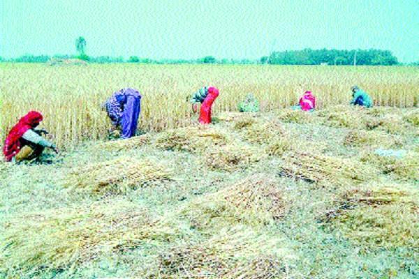 wheat harvesting work