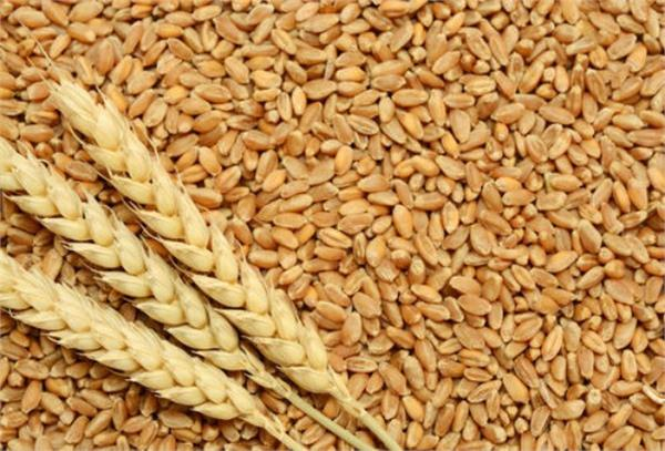 production of wheat