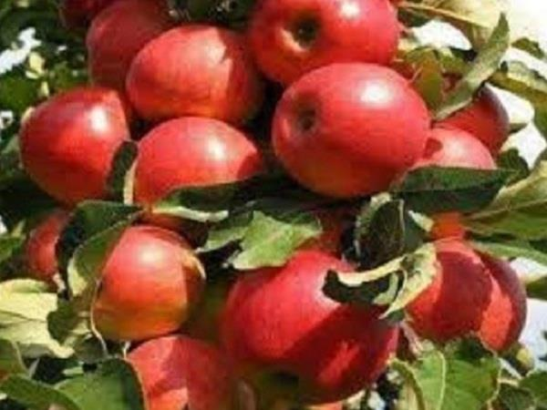 this time the gardeners hope to have good crop of apple