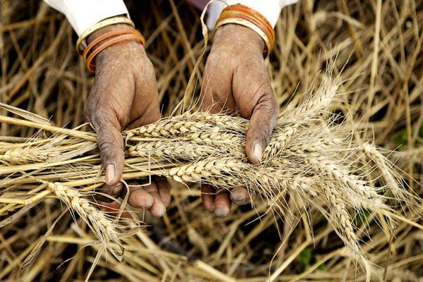 india raises import duty on wheat by 10 in bid to support local farmers