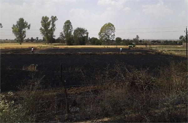 500 bigha crop of wheat ash