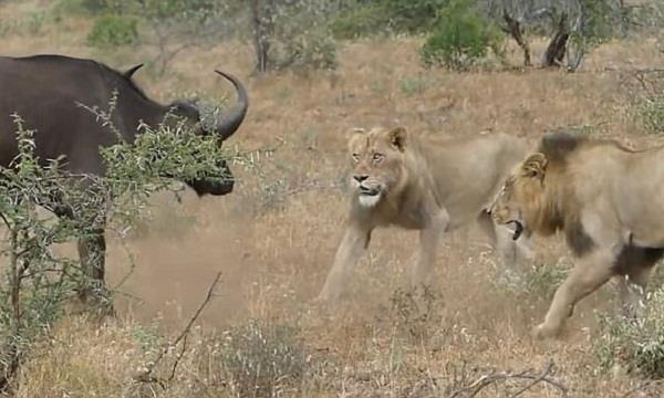 buffalo fights lions crocodiles in viral video