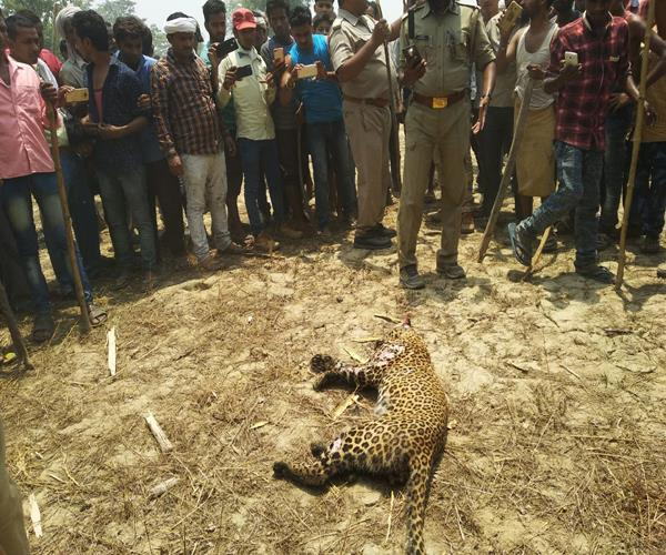 villagers beat female leopards to death