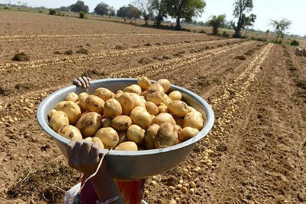 farmers of gujarat had to grow potato barking around the cutting court