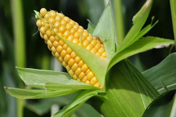 increased prices of maize seed increased the problem of poultry farmers