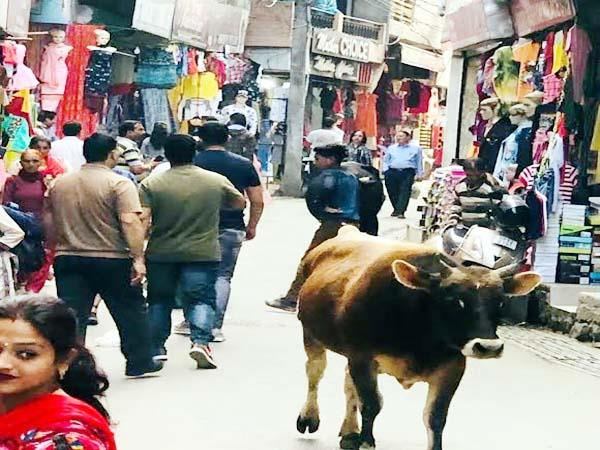 bulls became trouble to businessman and passer by