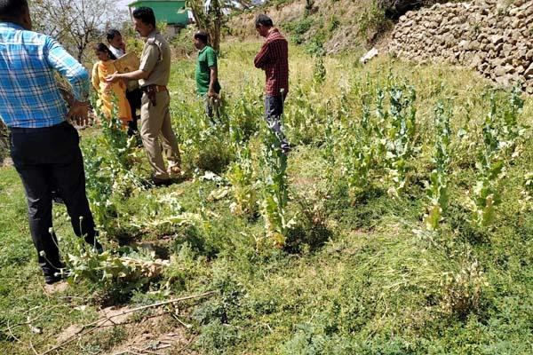 opium farming busted in sirmaur