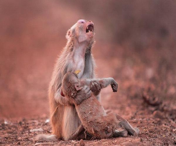 monkeys death in vrindavan matter of concern