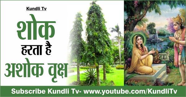 importance of ashok tree