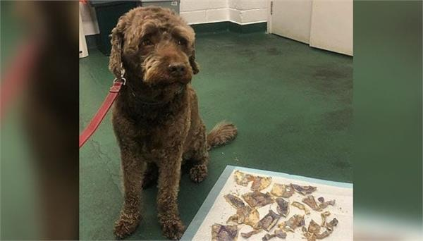 naughty dog eats 160 pounds cash as  meal  owners left with huge