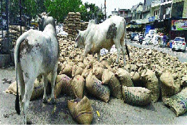 loss of stray cattle in sohna causing damage