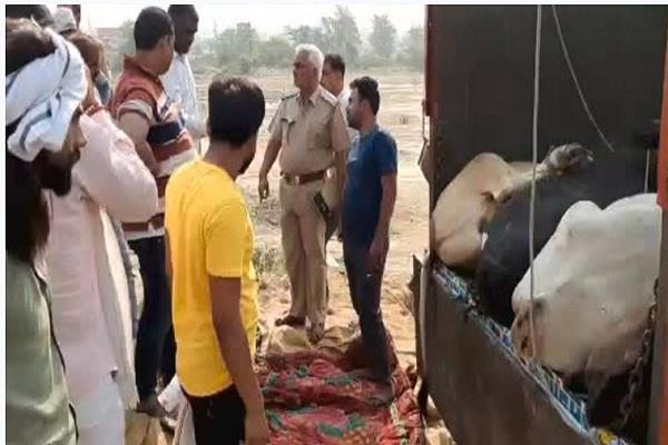 thirty cows recoverd from smugglers