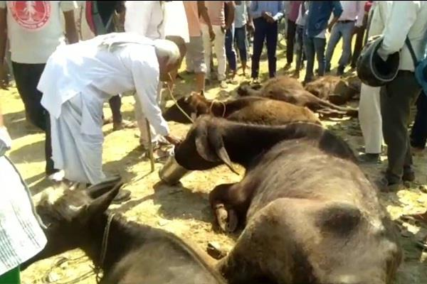 cow protection team caught over 100 containers full of animals