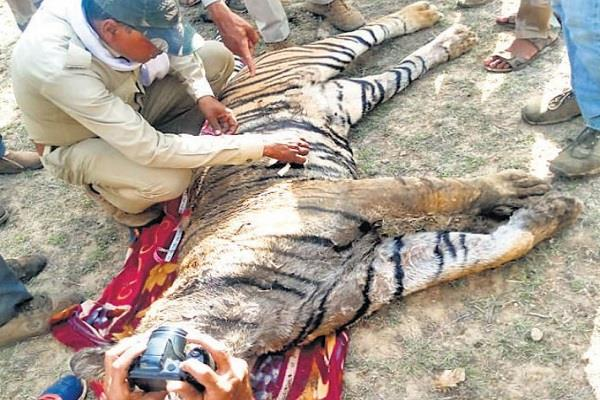 tiger victim 3 accused arrested
