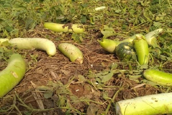 hail storm in mewat crops and vegetables worsened