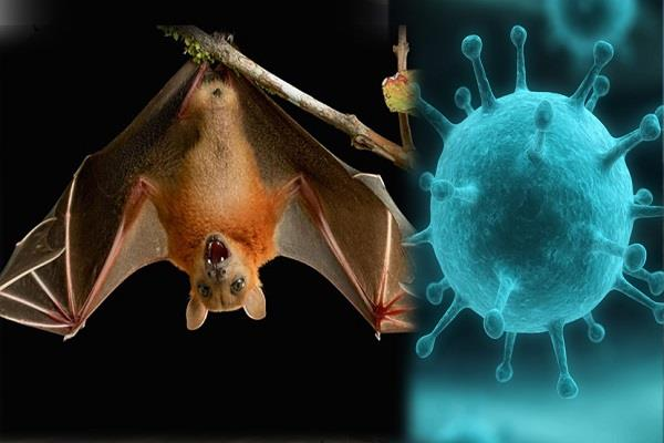 a knife of deadly  nipah  virus spreading from bats